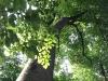 Bild 11 Blick in Baumkronen